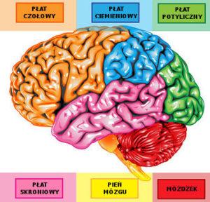mózg, rehabilitacja pedagogiczna, neurorehabilitacja